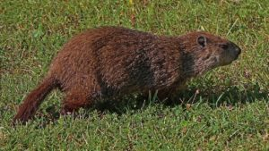 10 Bizarre But True Facts About Groundhogs