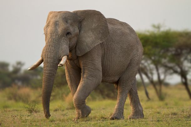 elephant Top 10 Unknown Animal Facts