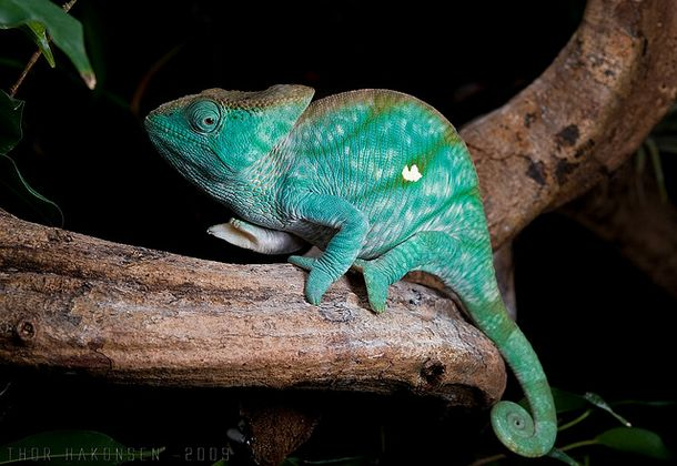 chameleon Top 10 Unknown Animal Facts
