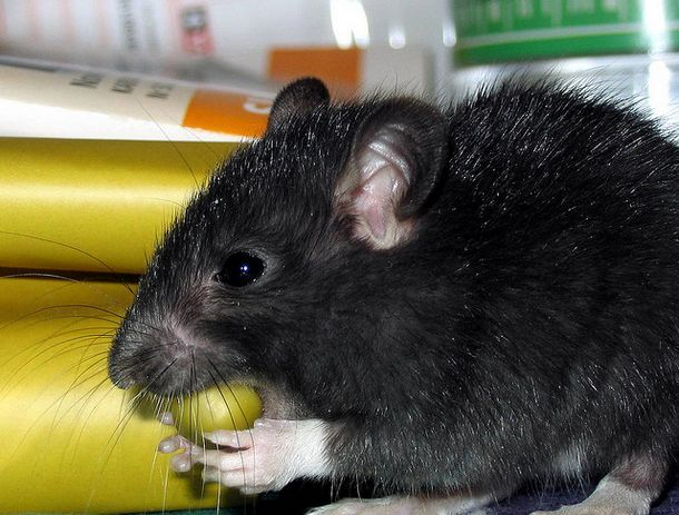 rat Top 10 Unknown Animal Facts