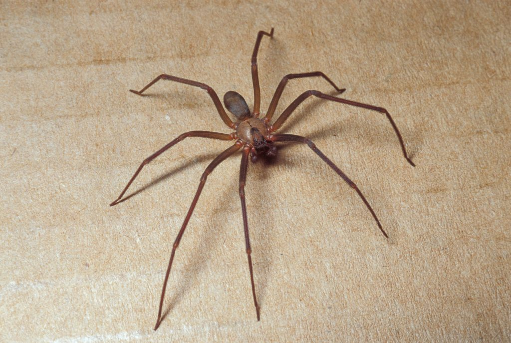 Brown Recluse Spider Facts | Science Facts