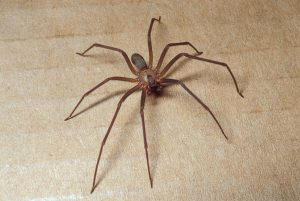 Brown Recluse Spider Facts