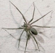 The Loxosceles Recluse - brown recluse