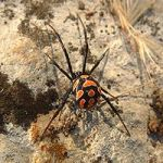 Mediterranean Black Widow Spider