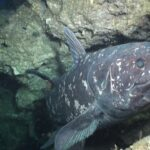 Facts about Coelacanth - Living Fossils of the Sea