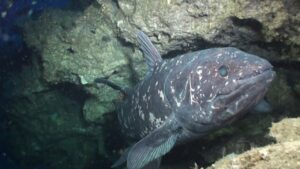 Facts about Coelacanth – Living Fossils of the Sea
