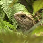 Facts about Tuatara - Modern Dinosaurs
