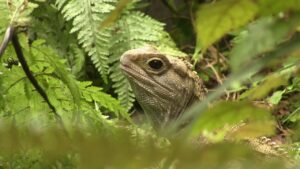 Facts about Tuatara – Modern Dinosaurs