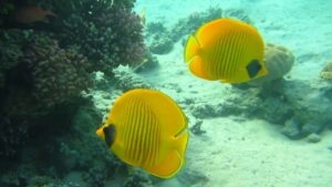 Butterflyfish, The Canary on the Reef