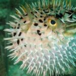 Pufferfish Facts: Nature's Deadliest