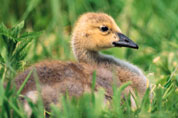 A young duckling