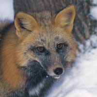 Close up of a fox facewith a dark colouration on its neck fur