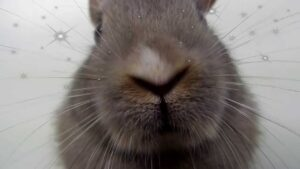 Why do rabbits noses twitch?