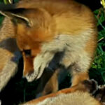Red Foxes of North America