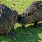 Rodentia - Gnawing Mammals Facts
