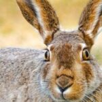 Lagomorpha - Hare-Like Mammals Facts