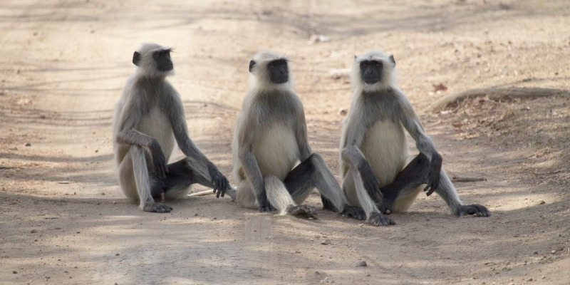 photo of 3 baboons