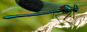 Do Dragonflies Bite? and more Interesting Bug Facts