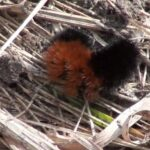 How to Raise a Woolly Bear Caterpillar to Butterfly Moth
