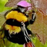 Should Bumblebees be able to Fly?